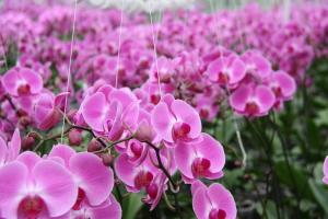 De phalaenopsis orchidee.
